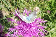 8 Blue butterfly on Alpine Knapweed