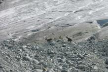 11 Bouquetins on glacier