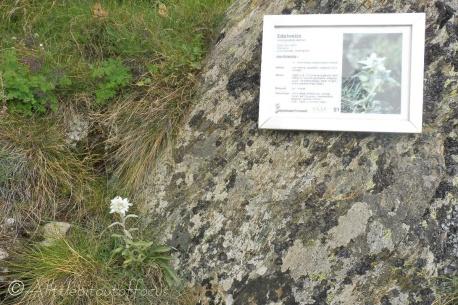 13 Edelweiss
