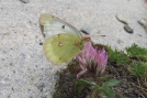 14 Mountain Clouded Yellow (I think)