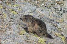 15 Young Marmot
