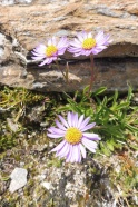 16 Alpine Asters