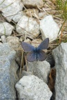 16 Blue butterfly