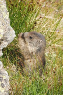 16 Young Marmot