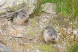 17 Young Marmots