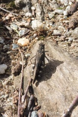18 Egyptian Grasshopper