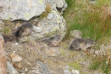 18 Young Marmots