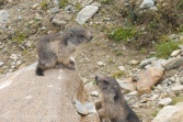 21 More Young Marmots