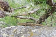 25 Lizard