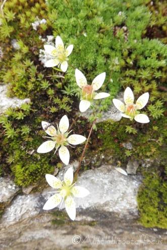 3 Moss Saxifrage
