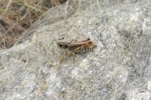 33 Gomphocerus Sibiricus