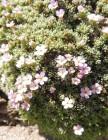 5 Alpine Rock-jasmine