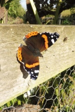19 Red Admiral