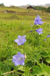 2 Bellflowers