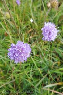 2 Scabious