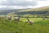 24 Sheep