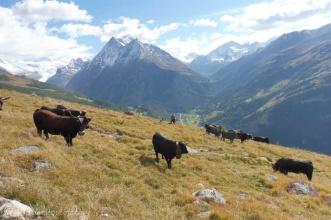 25 Val d'Hérens cows