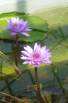 29 Water Lilies