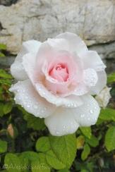 3 Rose