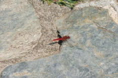 32 Red Dragonfly