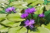36 Water Lilies