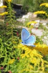 6 Chalkhill Blue upperside