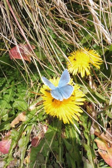 7 Blue butterfly