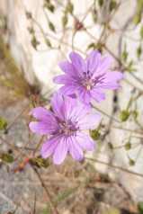 1 Geranium - Mountain Cranesbill
