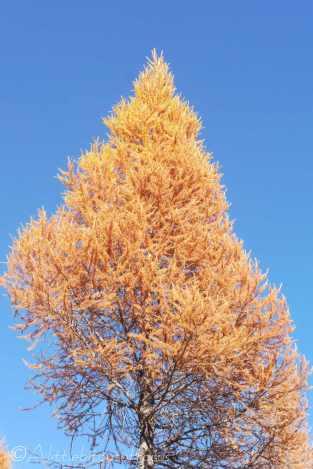 11 Autumn tree
