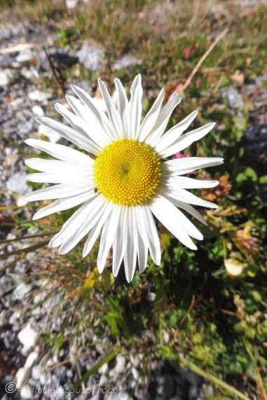 12 Marguerite I think