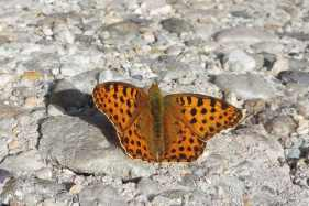 13 Queen of Spain Fritillary
