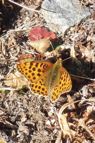 20 Queen of spain Fritillary (I think)