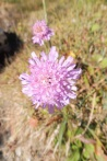 23 Wood Scabious