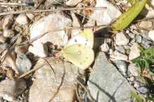 24 Pale Clouded Yellow