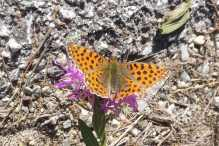 25 Queen of Spain Fritillary