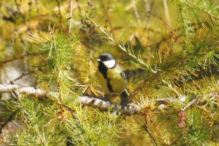 27 Great Tit