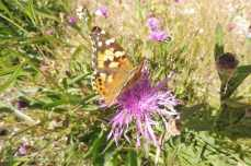 3 Painted Lady