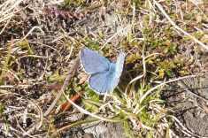 6 Blue butterfly
