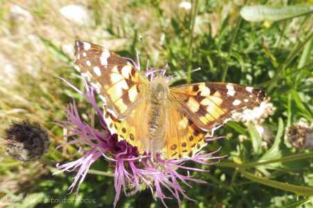 6 Painted Lady