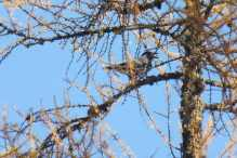 6 Spotted Nutcracker calling