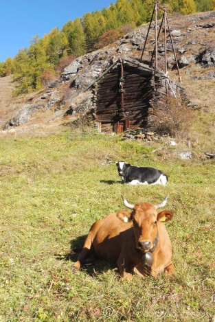 7 Contented cows