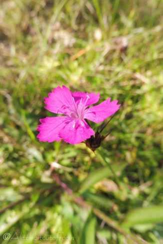 9 Carthusian Pink