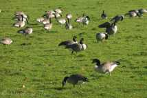 11 Canada Geese