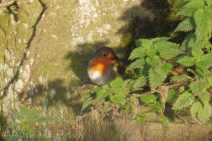 16 Shy Robin