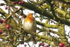 17 European Robin