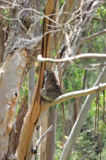 10 Shy Koala