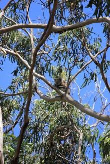 11 Cute Koala