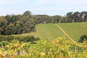 13 Vineyard