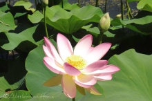 15 Lotus flower