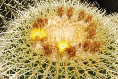 25 Cactus flowers